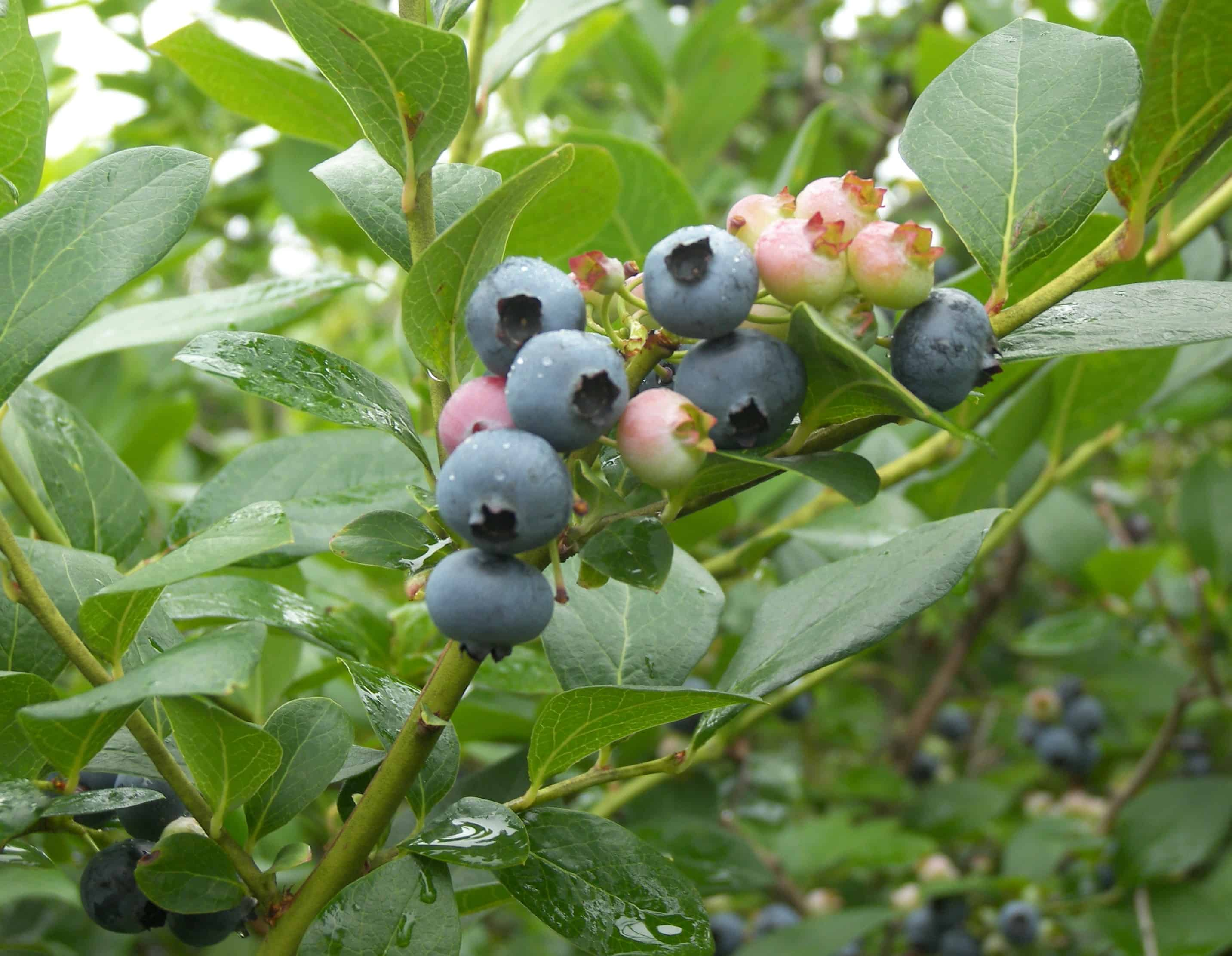 When Are Blueberries In Season? (Begin and End) - Eat Like ...