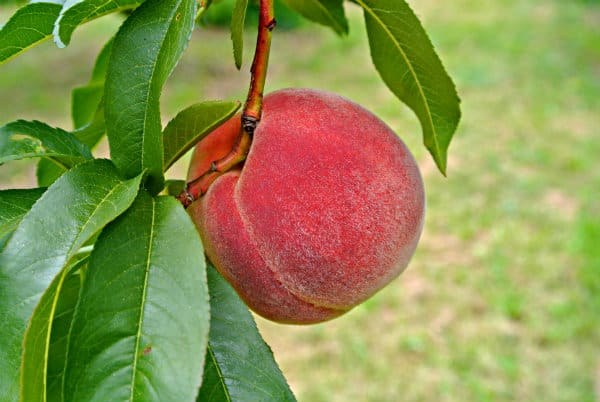 Bellaire Peaches