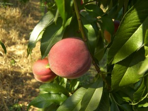 Kapnick Peaches 1