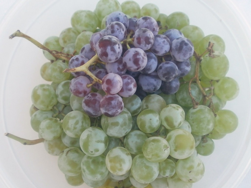 The best tasting grape varieties plant them in your yard for Table grapes