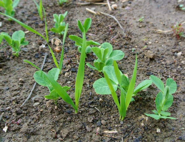 Peas and Oats Sprouting