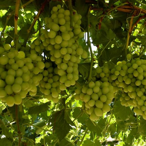 Cotton Candy Grapes on Vine