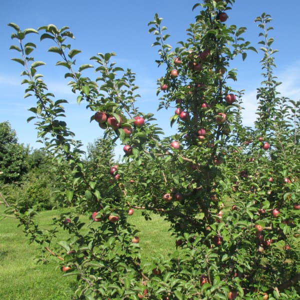 Macoun Apple Tree