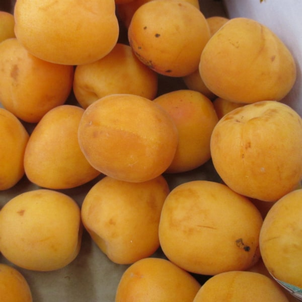 Early Apricots