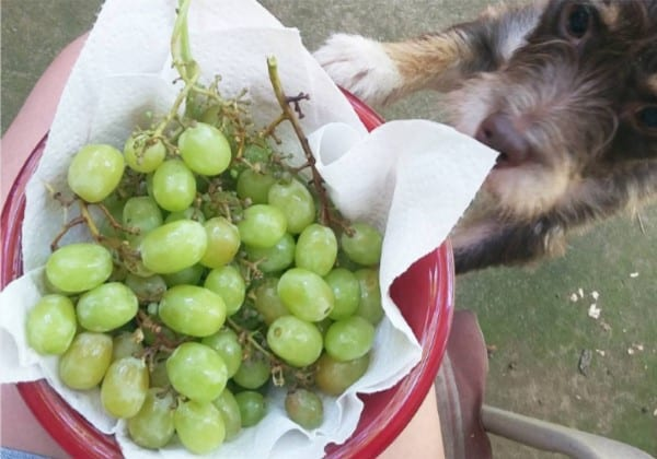 Cotton Candy grapes are so good, even dogs want in on the action. Photo courtesy of Instagram user  mannan_sharkulics