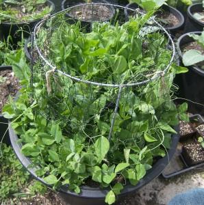 Growing Peas – Burpeeana Early at 8 Weeks