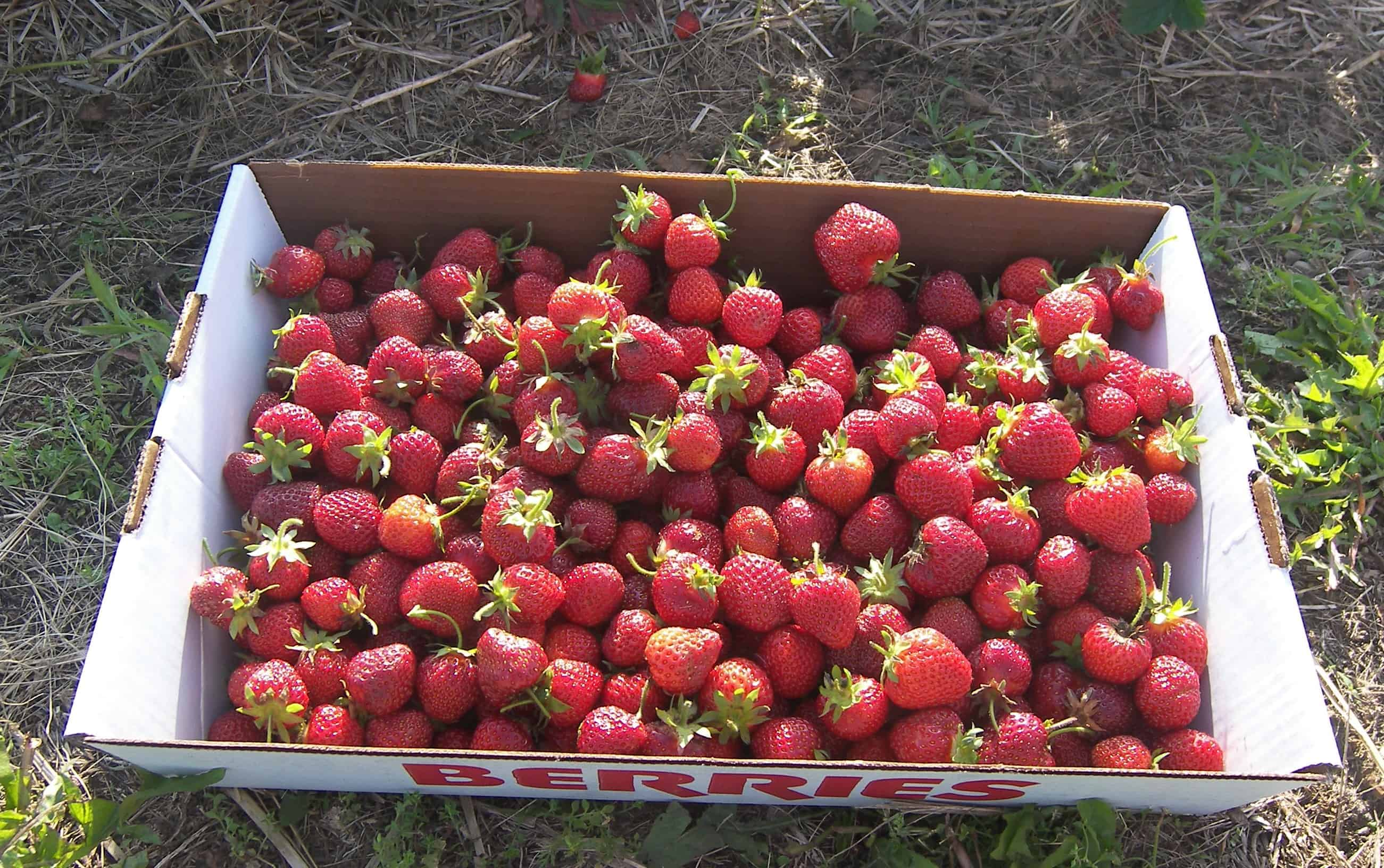 Michigan U Pick Strawberry News 6 3 2011 Eat Like No One Else