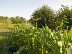 Corn 7-27-10 (1)