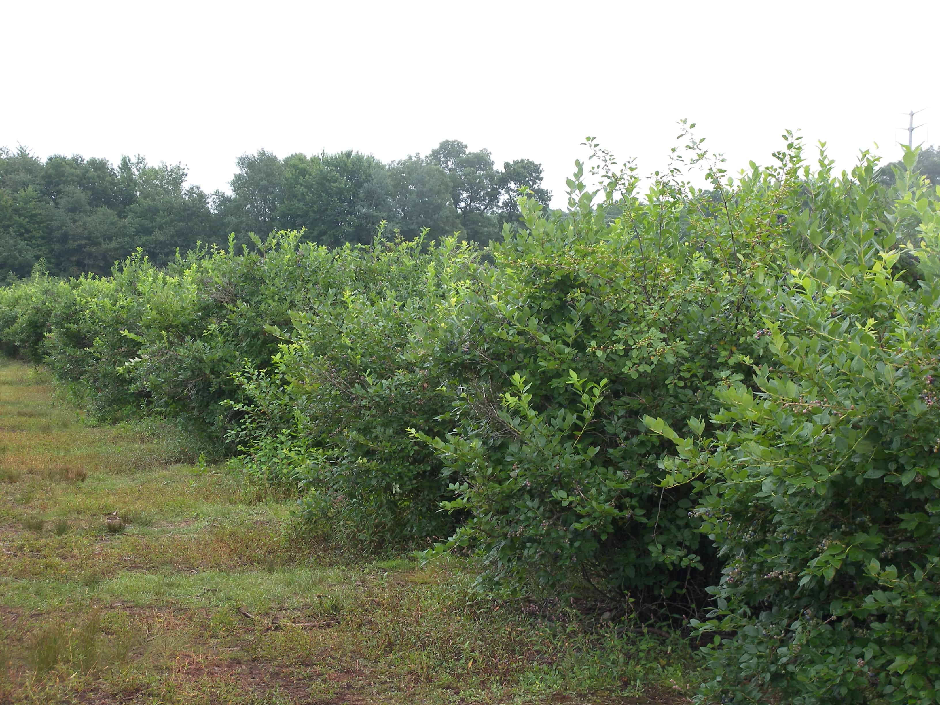Michigan U Pick Blueberry News 7 20 2011 U Pick Begins