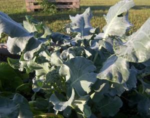 Packman Broccoli 7-22-10 (2)