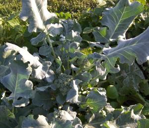 Packman Broccoli 7-22-10