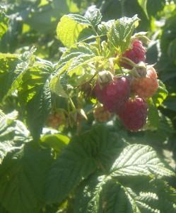 Rowe Raspberry 2