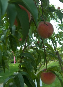 Red Haven Peach Season