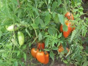San Marzano Tomatoes - 1