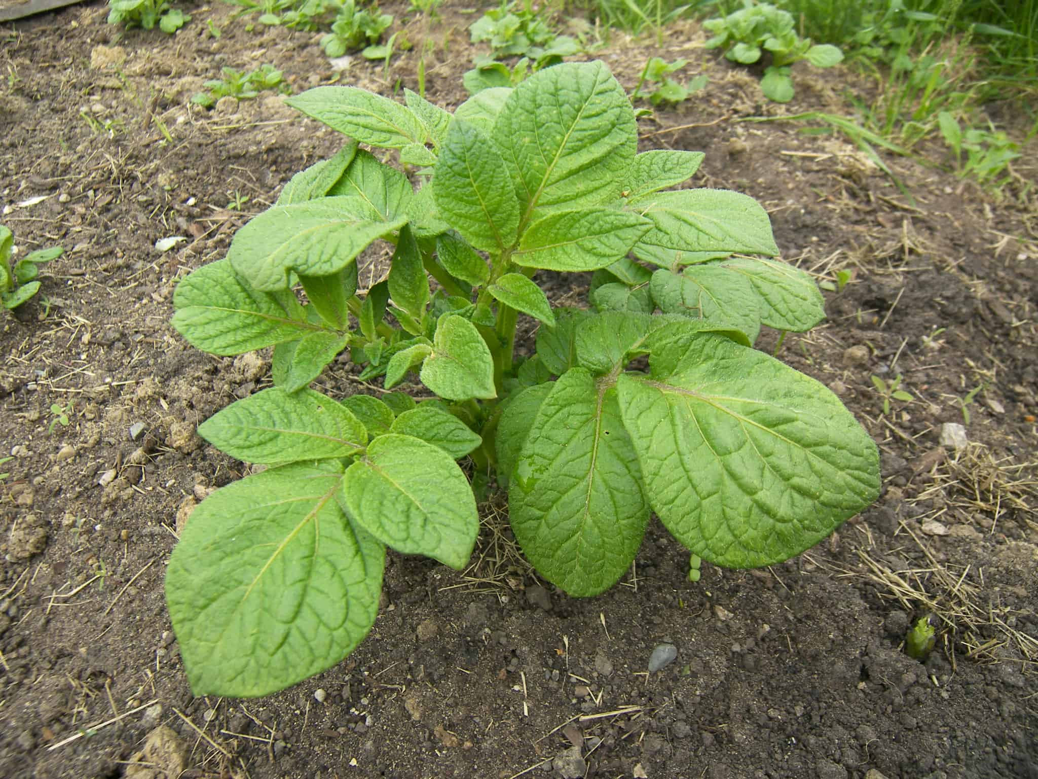 qampa what do potatoes leaves look like when they grow