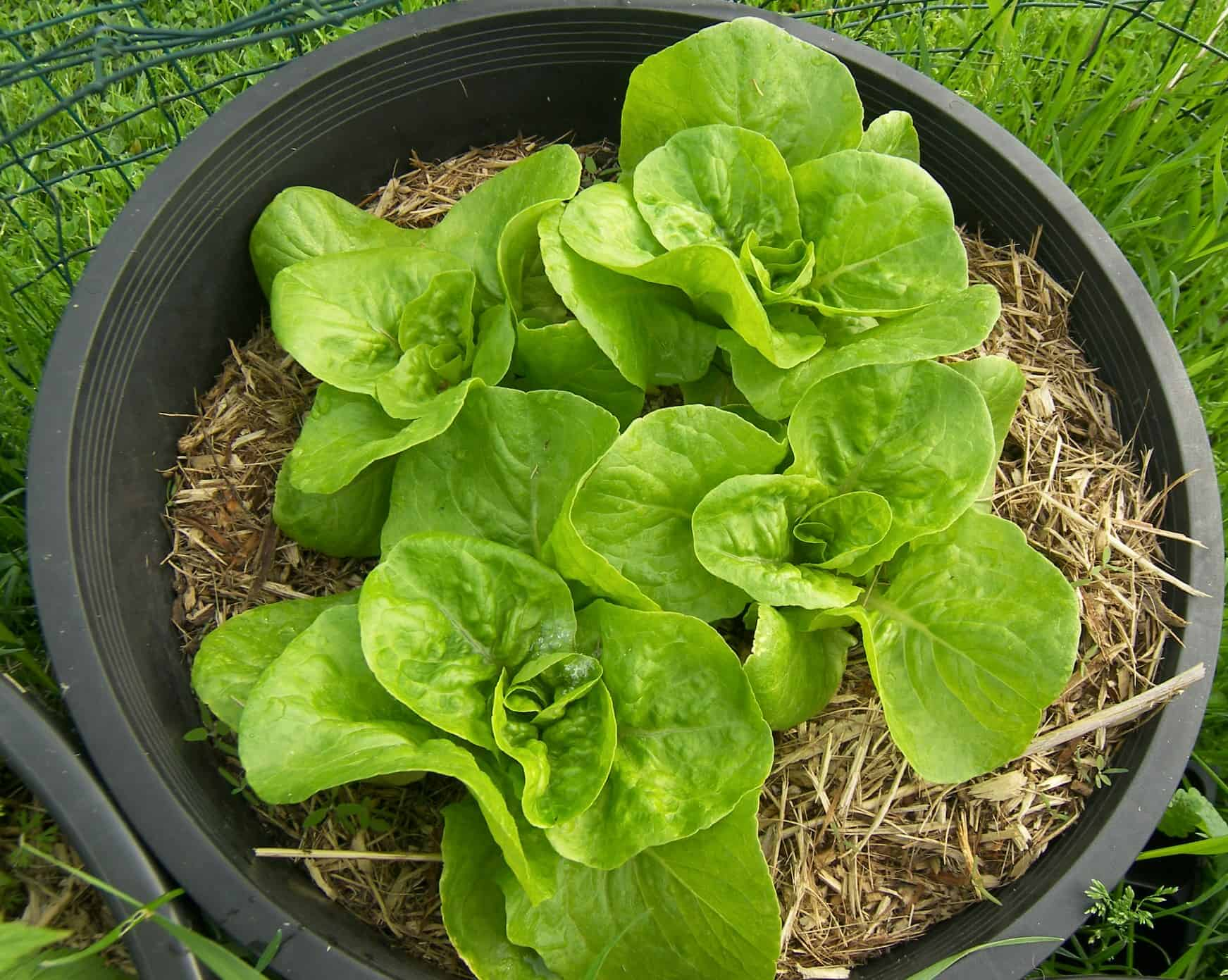 Growing bibb lettuce close to harvest eat like no one else - How to store lettuce from garden ...