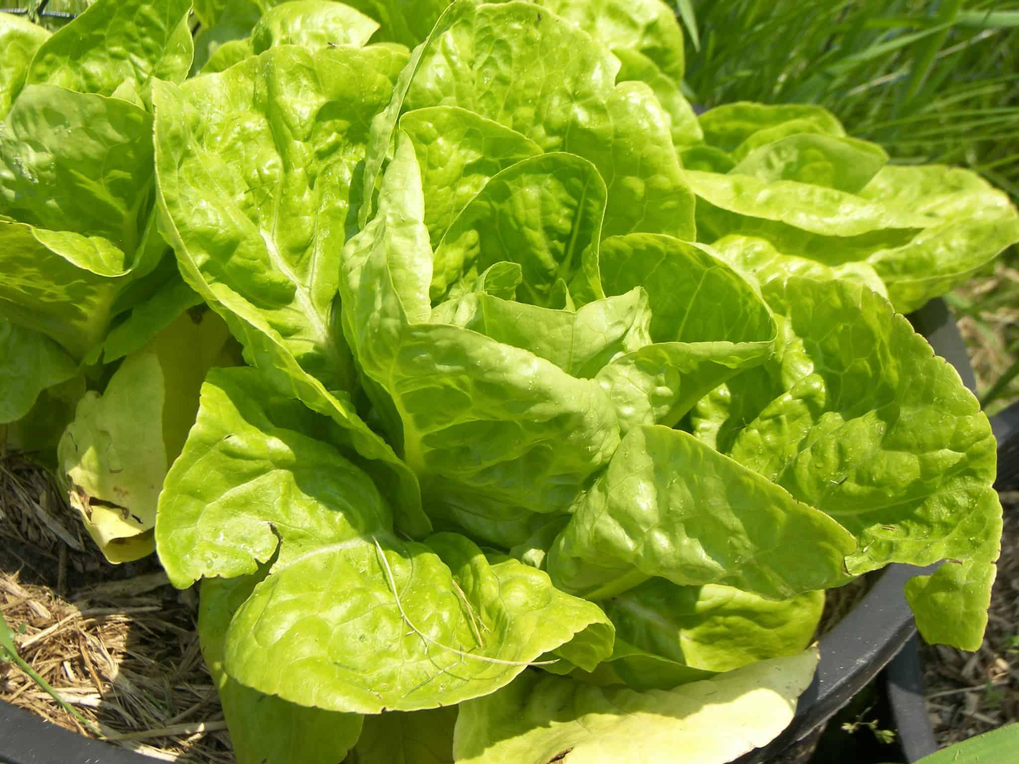 Garden lettuce bitter garden ftempo for How to pick lettuce from garden