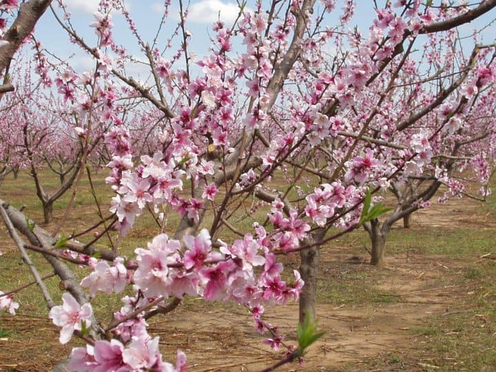 How Weather Impacts Peach Crops