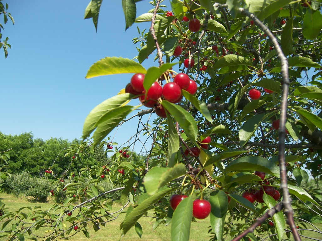Michigan Tart cherries