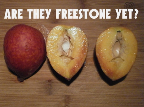 When are Peaches Freestone