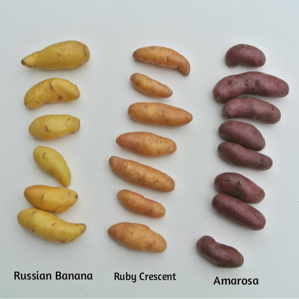 Fingerling Potatoes Varieties