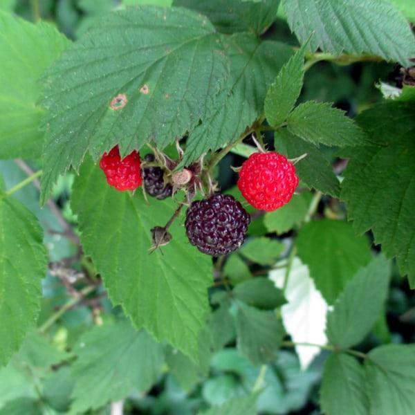 When Is Black Raspberry Season