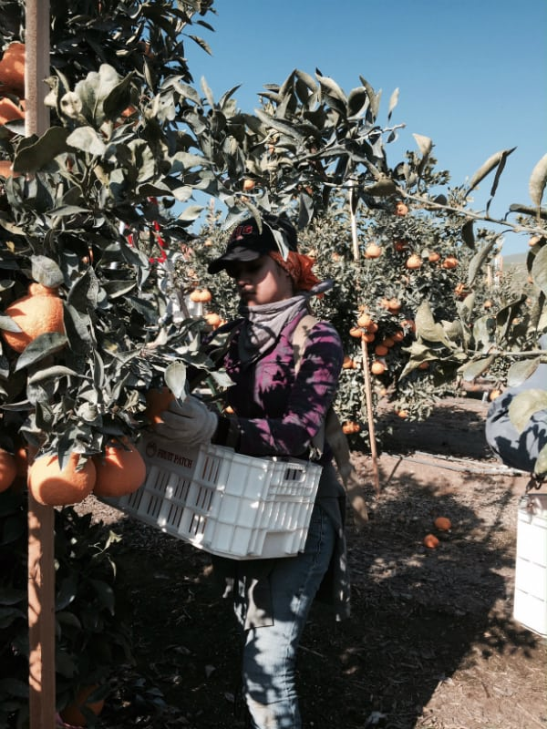 A harvester picking Sumo Citrus fruit and placing them into a white container.