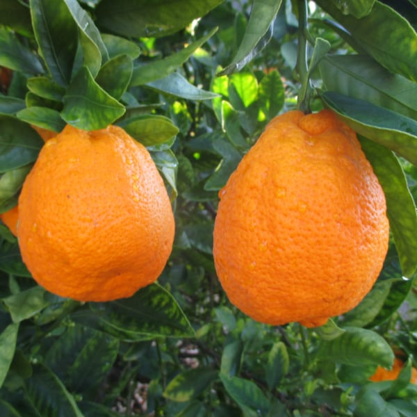 Gold Nugget Mandarins on tree