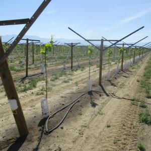 Grapery Vineyard