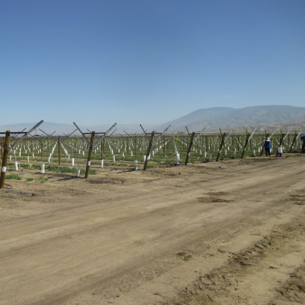 Grapery Vineyard