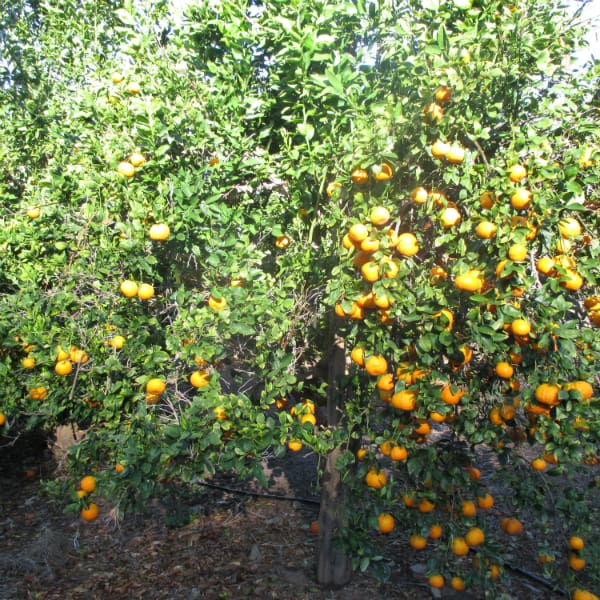 Ojai Pixie Tangerine tree