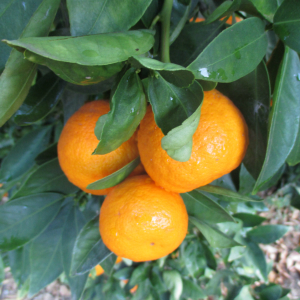 Ojai Pixie Tangerine