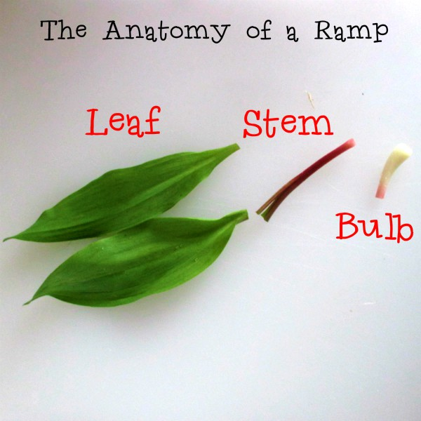 What Part of a Ramp Do You Eat