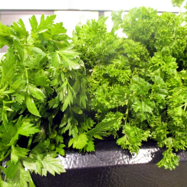 Flat Leaf Parsley Difference