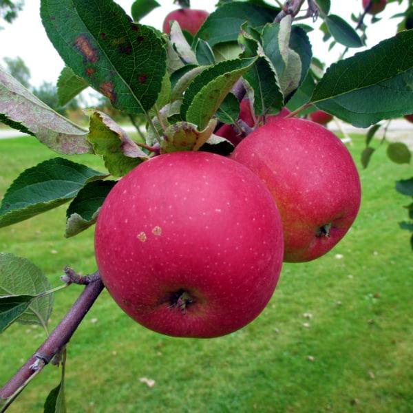 Eastman Apple