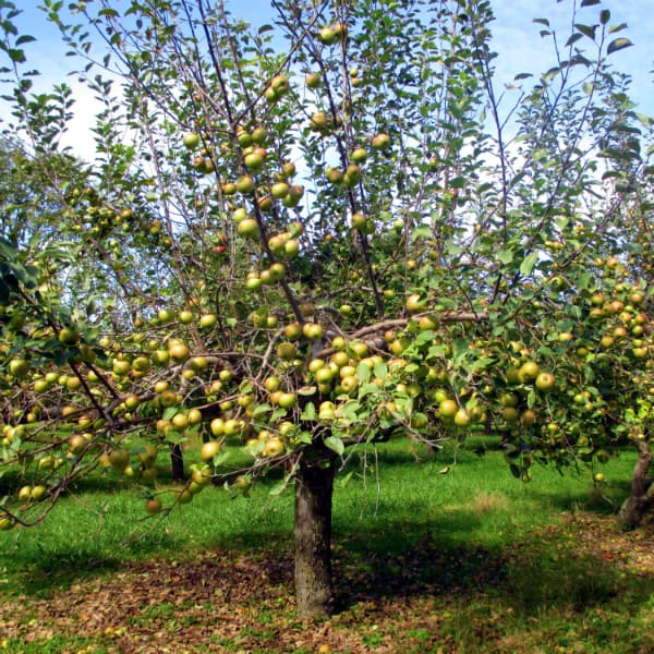 Moore Orchards