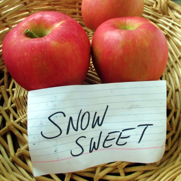 3 Snow Sweet Apples sitting in a basket