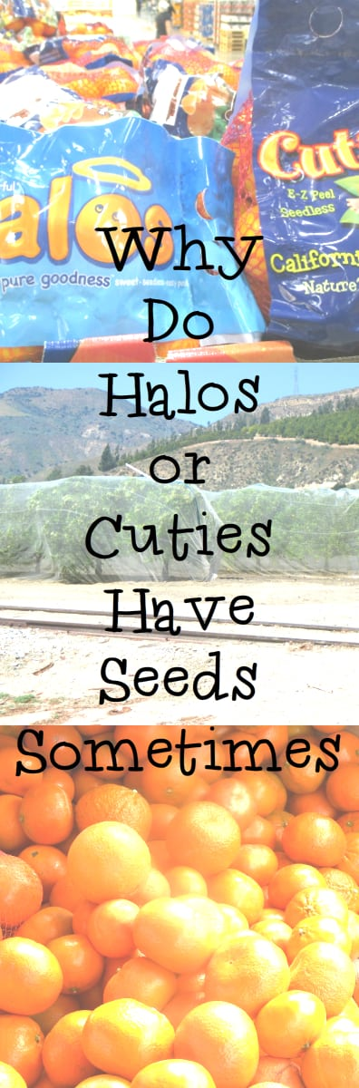 Why Do Halos or Cuites Sometimes Have Seeds