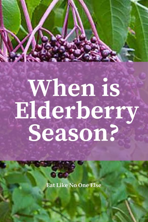 """Fresh elderberries ready to be picked hanging in a bush with the words """"When is Elderberry Season"""" over top."""