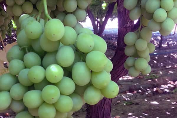 Grapery Sweet Globe green seedless grapes