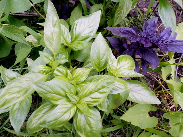 Fresh green and purple colored basil growing in a garden.