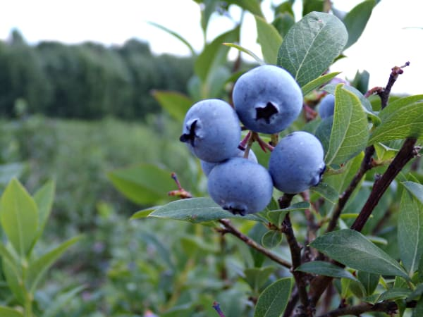 Blueberries growing outside on a tall bush