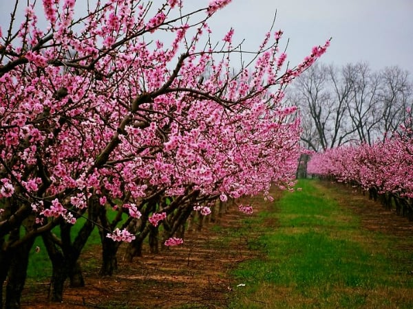 An orchard of Scarlet Prince peach blooming with pink flowers.