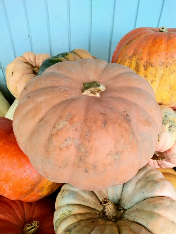 A close up of a Long Island cheese pumpkin along with some other pumpkins.