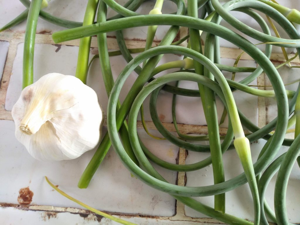 Garlic bulbs and scapes