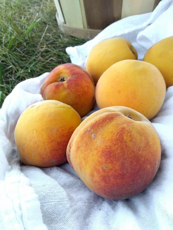 Elberta peaches sitting on a white towel outside