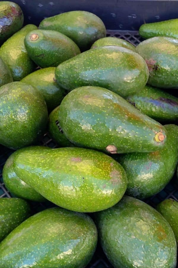 Avocado on display at a farmer's market. These ones have a longer neck than usual. They are bright green in color, not ripe.