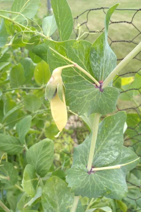 A Golden Sweet Snow pea is forming on a plant