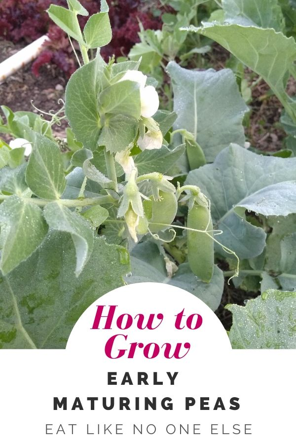 How to Grow Early Maturing Peas with a picture of pea pod ripening on the plant