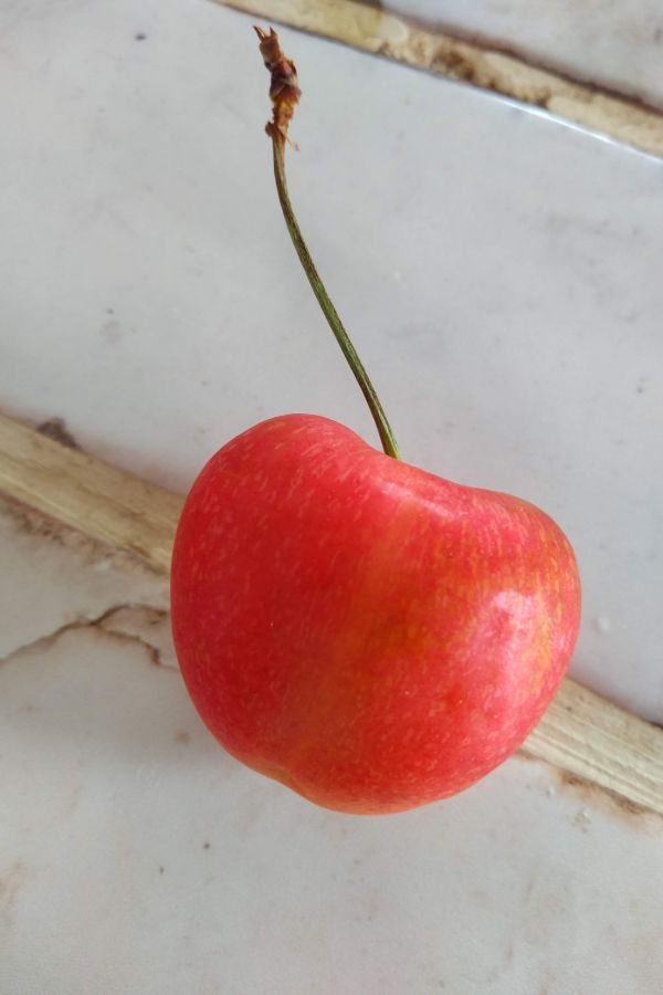 A single  Orondo ruby cherry sitting on a white counter top